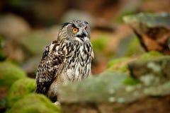 Großer Eurasier Eagle Owl, Bubo Bubo, mit offener Rechnung im Felsen mit grünem Moos Lizenzfreies Stockbild