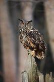 Großer Eurasier Eagle Owl, der auf dem Stumpf im dunklen Wald sitzt Lizenzfreie Stockfotos