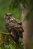 Großer Eurasier Eagle Owl, Vogel, der auf dem Baumstumpf mit grünem Moos in der dunkler Waldschönen seltenen Eule im Naturlebensr Stockbild