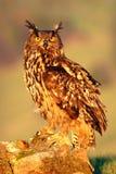 Großer Eurasier Eagle Owl, Vogel, der auf dem Stein in der Wiese mit Fangigelem sitzt Schöne seltene Eule im Naturlebensraum Ani Stockfoto