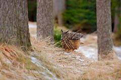 Großer Eurasier Eagle Owl, Vogel, der auf dem Stumpf im dunklen Wald mit Gras und erstem Schnee sitzt Szene der wild lebenden Tie Lizenzfreie Stockfotografie