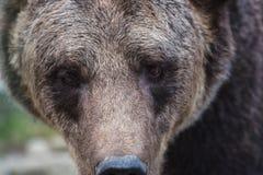 Großer europäischer Braunbär Ursidae, Ursus arctos mit ausdrucksvollen traurigen Augen, extrem Nahaufnahme lizenzfreies stockbild