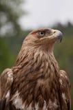 Großer Falke Stockbilder