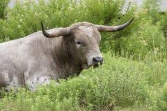 Großer fauler wilder Texas-Longhorn Stockfotografie