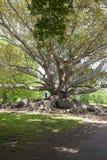 Großer Ficus als Kletterstangen Stockfoto