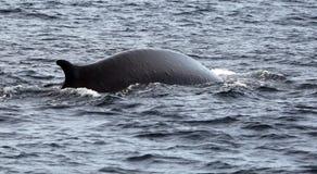 Großer Finnwal Stockfotografie