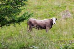 Großer frecher Stier auf der schottischen Weide, die gerade schaut Lizenzfreies Stockbild