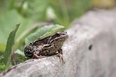 Großer Frosch auf Stein stockfoto