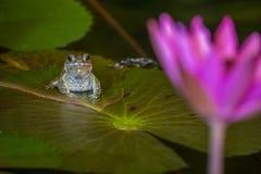 Großer Frosch sitzt auf dem Seeroseblatt und schaut zur purpurroten Lilie Stockfoto