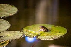 Großer Frosch sitzt auf dem Seerosegrünblatt Lizenzfreie Stockfotos
