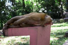 Großer gähnender Affe Stockfotografie