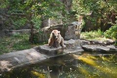 Großer gefährlicher Bär Stockfotografie