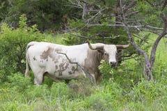 Großer gefährlicher Texas-Longhornstier Stockbild