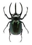 Großer gehörnter Käfer Stockbilder