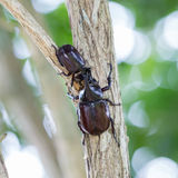 Großer gehörnter Käfer auf Baum Stockfotos