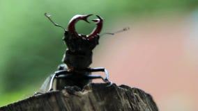 Großer gehörnter Käfer fliegt Hirschkäfer, der auf einen Baumstamm kriecht Männlicher Hirschkäfer im Weiß stock footage