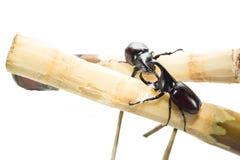 Großer gehörnter Käfer kämpft Stockbild