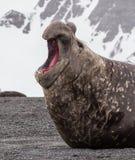 Großer gekämpfter Seeelefant schreit seine Herrschaft lizenzfreies stockfoto