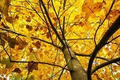 Großer gelber Baum, Herbstszene, bunter November Stockfoto