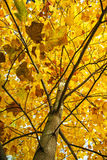 Großer gelber Baum, Herbstszene, bunter November, vertikaler Compo Stockfotografie