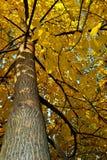 Großer gelber Baum mit schöner Niederlassung Stockfotos