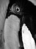 Großer gescheckter Hornbill Stockbilder