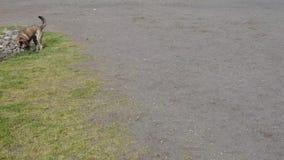 Großer gestreifter Hund, der glücklich in Hundepark in Sonne läuft stock video footage