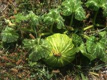 Großer gestreifter Kürbis, der im Garten wächst Garten Sommer Die Sonne Lizenzfreie Stockbilder