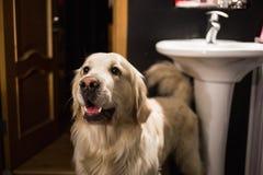 Großer glücklicher Hund, der in einem beiseite schauenden und lächelnden Badezimmer steht lizenzfreies stockbild