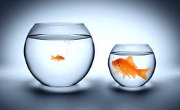 Großer Goldfisch in einem kleinen Aquarium stockfotografie