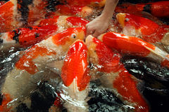 Großer Goldfish Stockfotos