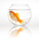 Großer Goldfish in einer kleinen Schüssel Stockfotos