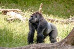 Großer Gorilla Lizenzfreies Stockfoto