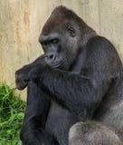 Großer Gorilla, der nahe bei einer Wand sitzt Lizenzfreies Stockfoto