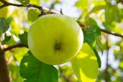 Großer grüner Apfel auf dem Baum im Sonnenschein Lizenzfreie Stockbilder
