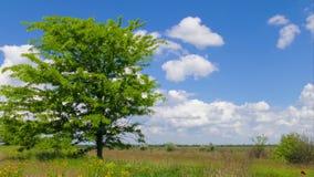 Großer grüner Baum in der Steppe stock video footage
