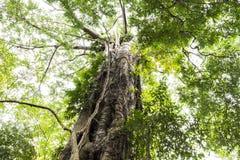 Großer grüner Baumhintergrund der schönen Natur in den tropischen Vorderteilen Stockbilder