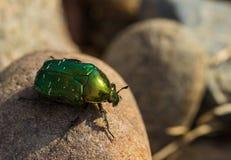Großer grüner Käfer Lizenzfreies Stockbild
