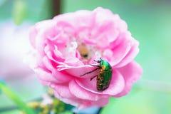 Großer grüner Käfer auf einer Rosenblume Lizenzfreies Stockbild