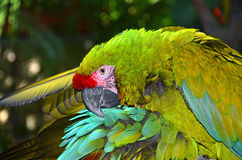 Großer grüner Macaw Stockfotografie