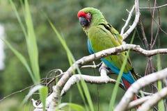 Großer grüner Macaw Stockbilder