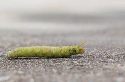 Großer grüner Wurmweg aus den Grund Lizenzfreie Stockbilder