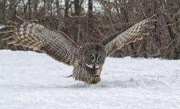 Großer Gray Owl im Flug stockbilder