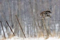 Großer Gray Owl, Strix nebulosa, in der Winterlandschaft Stockfotos