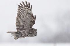 Großer Gray Owl, Strix nebulosa, im Flug Lizenzfreie Stockbilder