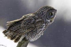 Großer Gray Owl, Strix nebulosa, im Winter Lizenzfreie Stockbilder