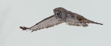 Großer Gray Owl, Strix nebulosa, schwebend Lizenzfreie Stockfotos