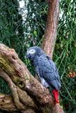 Großer Gray Parrot Lizenzfreie Stockbilder