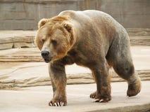 Großer großer Brown-Bär Stockfotografie