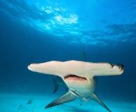 Großer Hammerhai lizenzfreie stockfotos